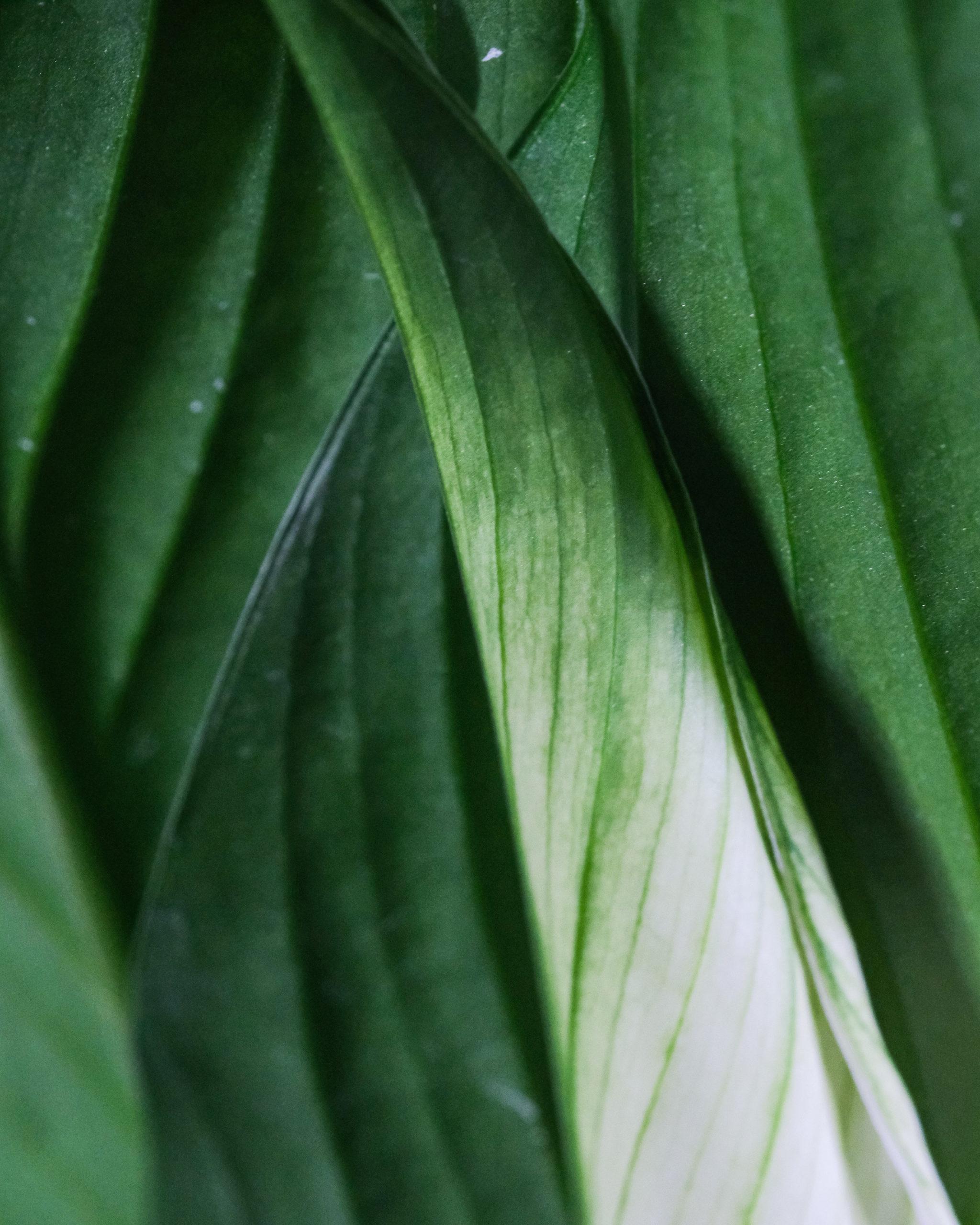 Spathiphyllum_1